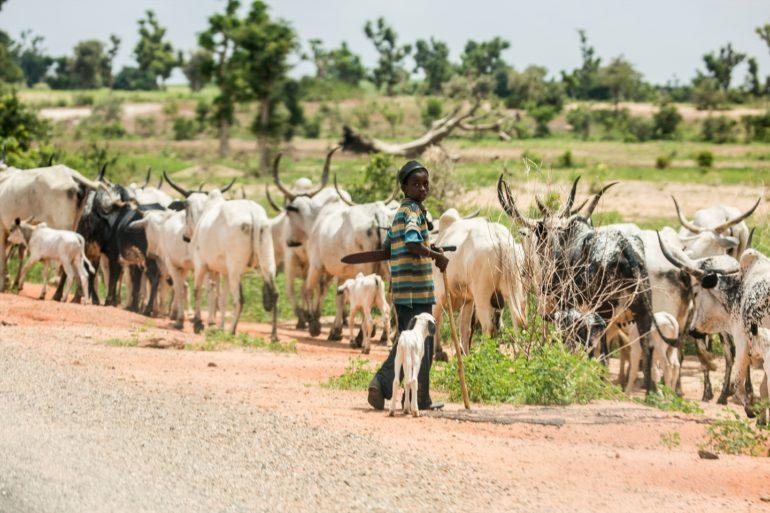 A Fulani boy herding cattle in Bauchi State, northern Nigeria.